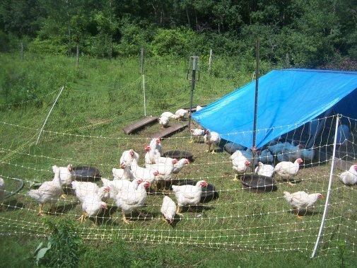 Raising chickens on pasture