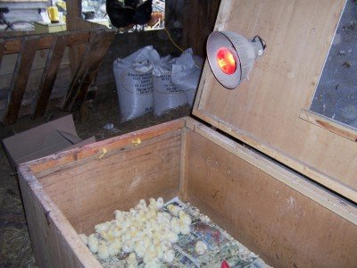 Raising chickens in a heated broody box